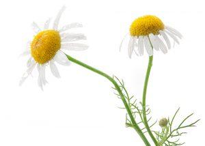 Grow Skincare Plants - Chamomile