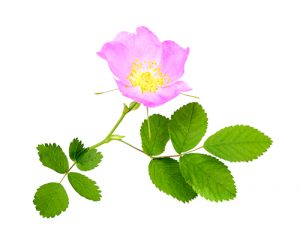 Grow Skincare Plants - Dog Rose