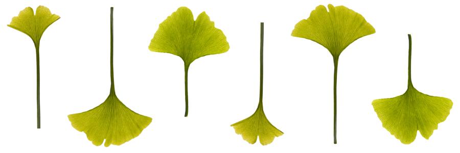 Haircare Herbs Ginkgo Biloba Leaves