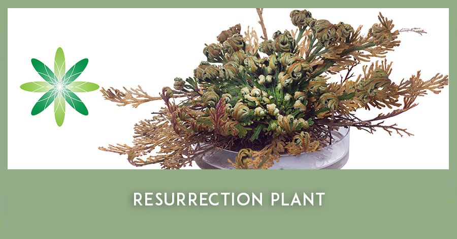 Resurrection plant extracts in natural cosmetics