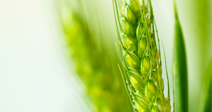 wheat peptides